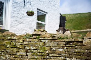 Sheep looking over the wall