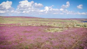 Shows the gorgeous purple heather that grows on the tops of the fells all around here