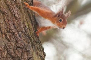 Red Squirrel by Martin Kitching