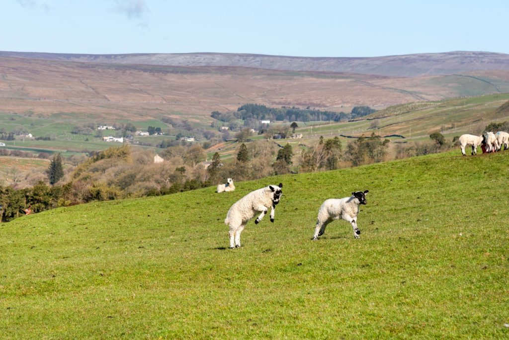 Lambs leaping in the field behind the cottage